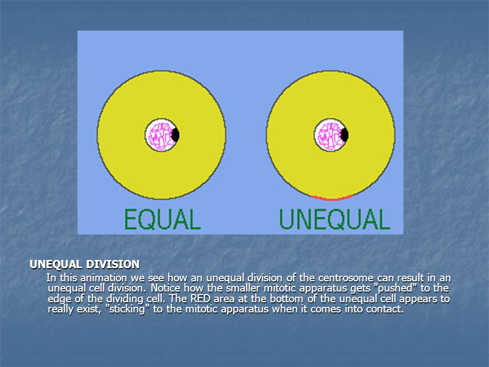 UNEQUAL DIVISION In this animation we see how an unequal division of the centrosome can result in an unequal cell division.