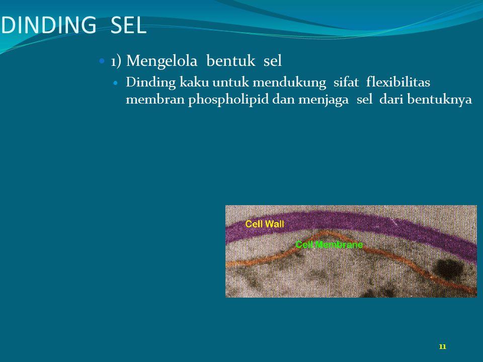 11 DINDING SEL 1) Mengelola bentuk sel Dinding kaku untuk mendukung sifat flexibilitas membran phospholipid dan menjaga sel dari bentuknya