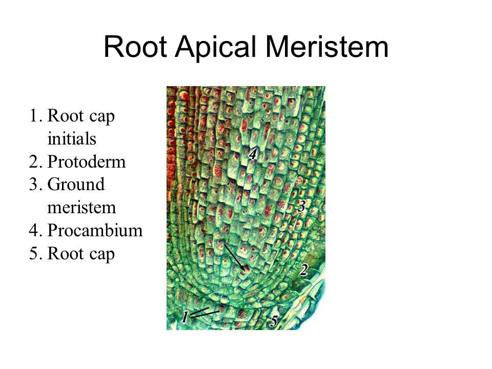 Root Apical Meristem 1.Root cap initials 2.Protoderm 3.Ground meristem 4.Procambium 5.Root cap