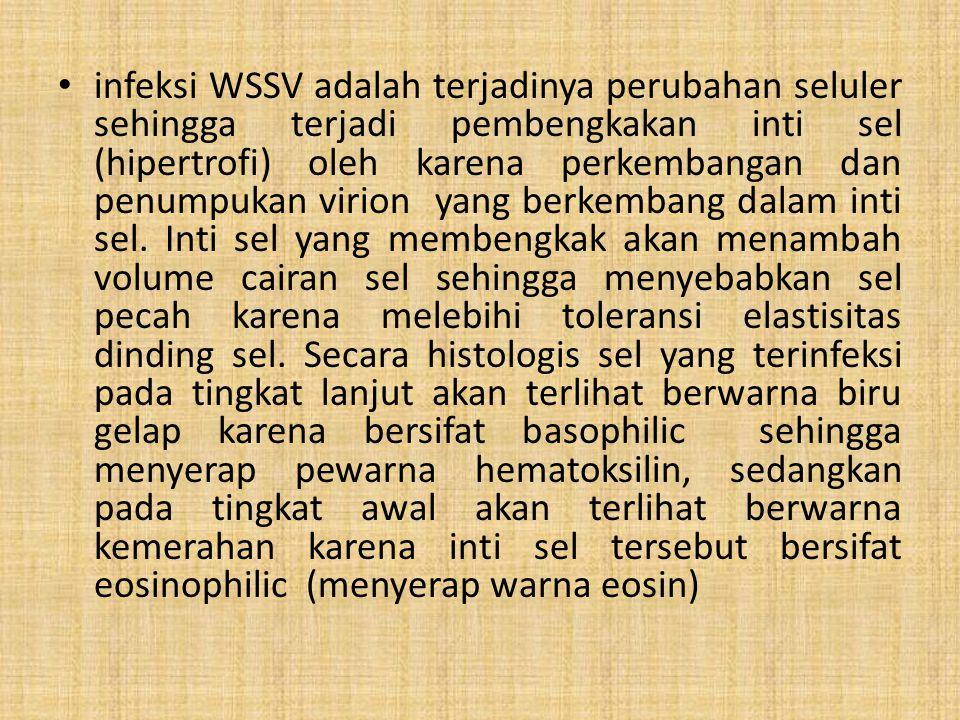 infeksi WSSV adalah terjadinya perubahan seluler sehingga terjadi pembengkakan inti sel (hipertrofi) oleh karena perkembangan dan penumpukan virion ya