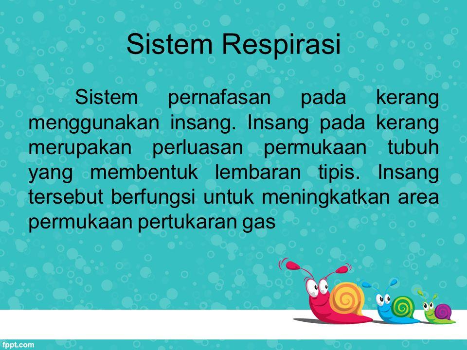 Sistem Respirasi Sistem pernafasan pada kerang menggunakan insang. Insang pada kerang merupakan perluasan permukaan tubuh yang membentuk lembaran tipi