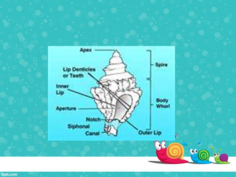 Klasifikasi Filum: Mollusca Kelas: Gastropoda Subklas: Orthogastropoda Ordo: Sorbeochonca Subordo: Hypsogastropoda Famili: Muricidae Genus: Murex Spesies: Murex pecten Nama Lokal: Kerang Sisir