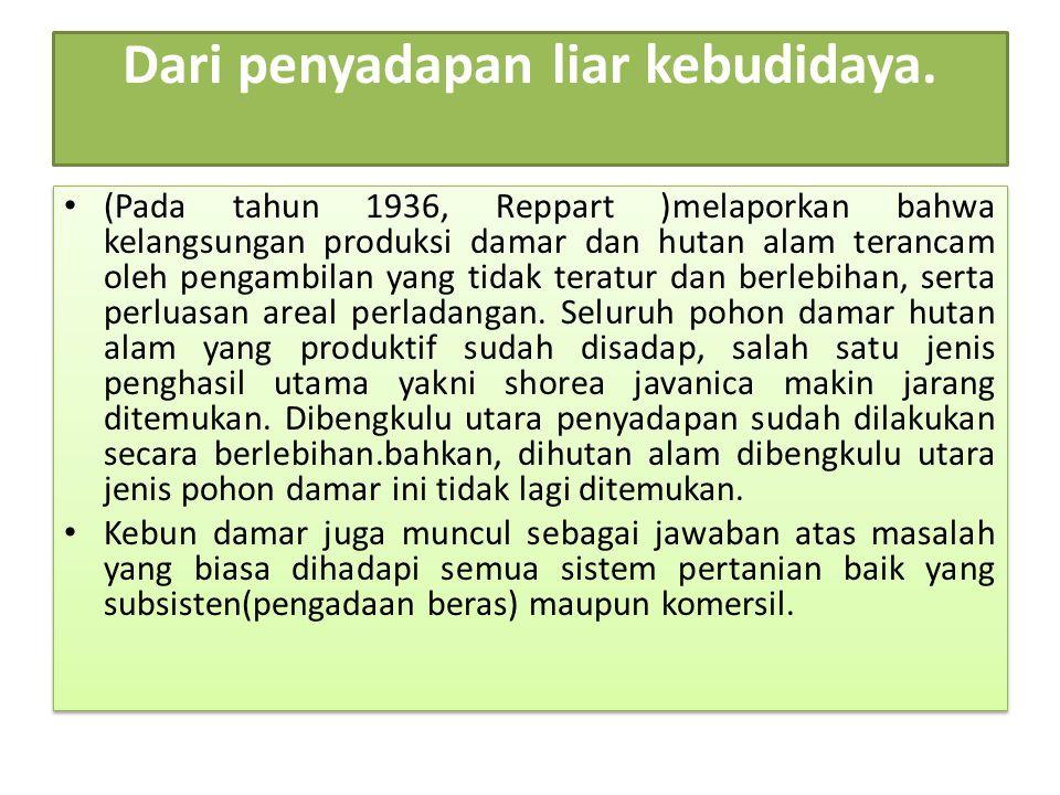 Dari penyadapan liar kebudidaya. (Pada tahun 1936, Reppart )melaporkan bahwa kelangsungan produksi damar dan hutan alam terancam oleh pengambilan yang