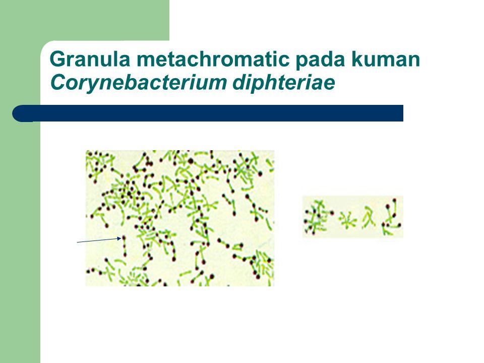 Granula metachromatic pada kuman Corynebacterium diphteriae