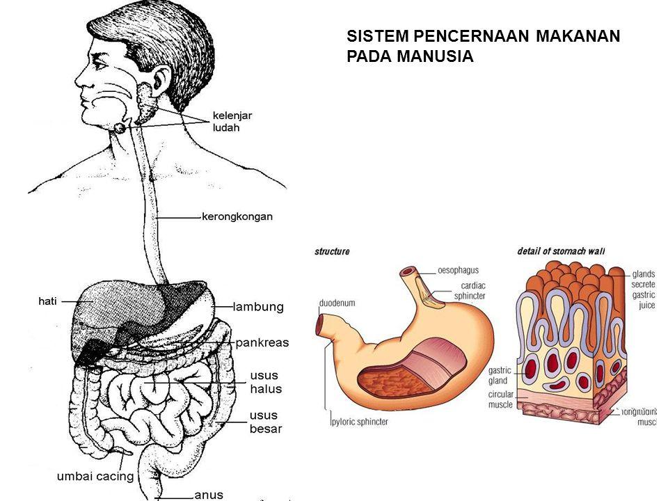 No.Nama organFungsi organ dan kelenjar 1.Rongga mulut  gigi mengunyah makanan dibantu ludah dan lidah  lidah membolak balik makanan  lidah membantu untuk bicara 2.Kerongkongan  menyalurkan makanan dari rongga mulut ke lambung  terdapat gerakan peristaltik yang mendorong makanan  gerak peristaltik terjadi pada kerongkongan sampai ke anus 3.Lambung  menghancurkan makanan sampai berbentuk bubur  menghasilkan HCl (asam klorida) yang berguna untuk membunuh kuman penyakit 4.Usus halus  terjadi penyerapan sari makanan untuk diedarkan ke seluruh tubuh 5.Usus besar  membusukkan sisa makanan dengan bantuan bakteri pembusuk 6.Anus  mengeluarkan sisa makanan dalam bentuk feses NAMA ORGAN DAN FUNGSINYA