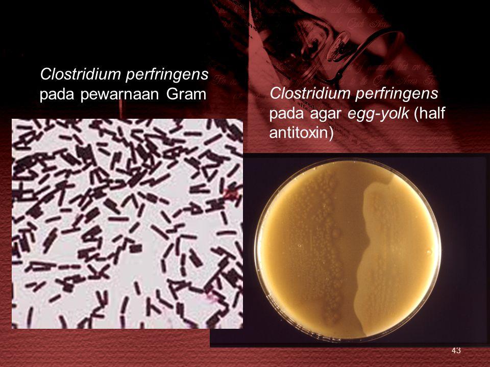 43 Clostridium perfringens pada agar egg-yolk (half antitoxin) Clostridium perfringens pada pewarnaan Gram
