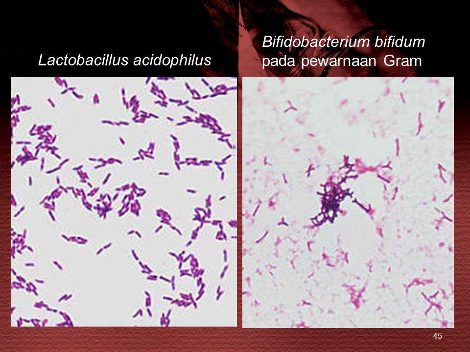 45 Bifidobacterium bifidum pada pewarnaan Gram Lactobacillus acidophilus