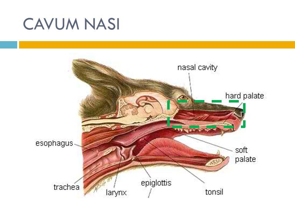 CONCHA NASALIS  3 penonjolan tulang melengkung  Kerangka  turbinate bone  Sinus venosus banyak dan lebar  plexus venosus (jaringan erektil)  Udara dingin  plexus berisi darah  menghangatkan udara yg melewati