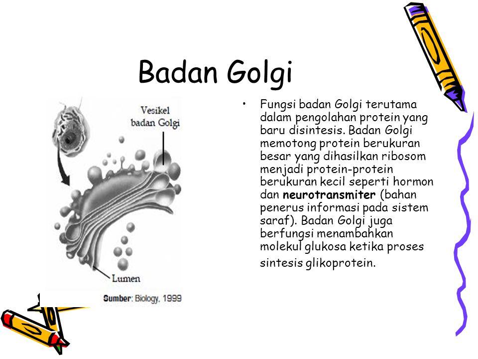 Badan Golgi Fungsi badan Golgi terutama dalam pengolahan protein yang baru disintesis.