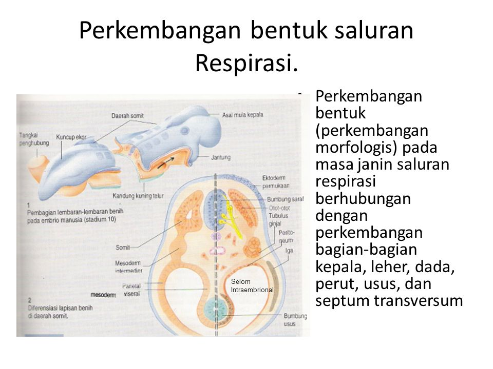 Perkembangan bentuk saluran Respirasi. Perkembangan bentuk (perkembangan morfologis) pada masa janin saluran respirasi berhubungan dengan perkembangan