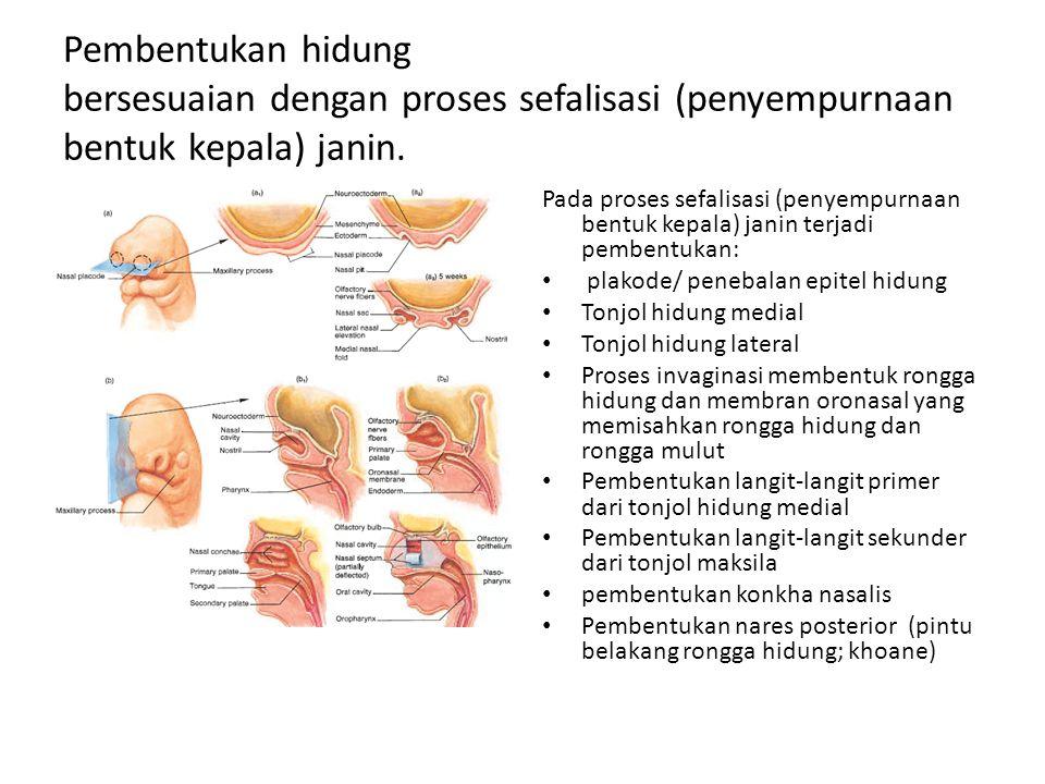 Pembentukan hidung bersesuaian dengan proses sefalisasi (penyempurnaan bentuk kepala) janin. Pada proses sefalisasi (penyempurnaan bentuk kepala) jani