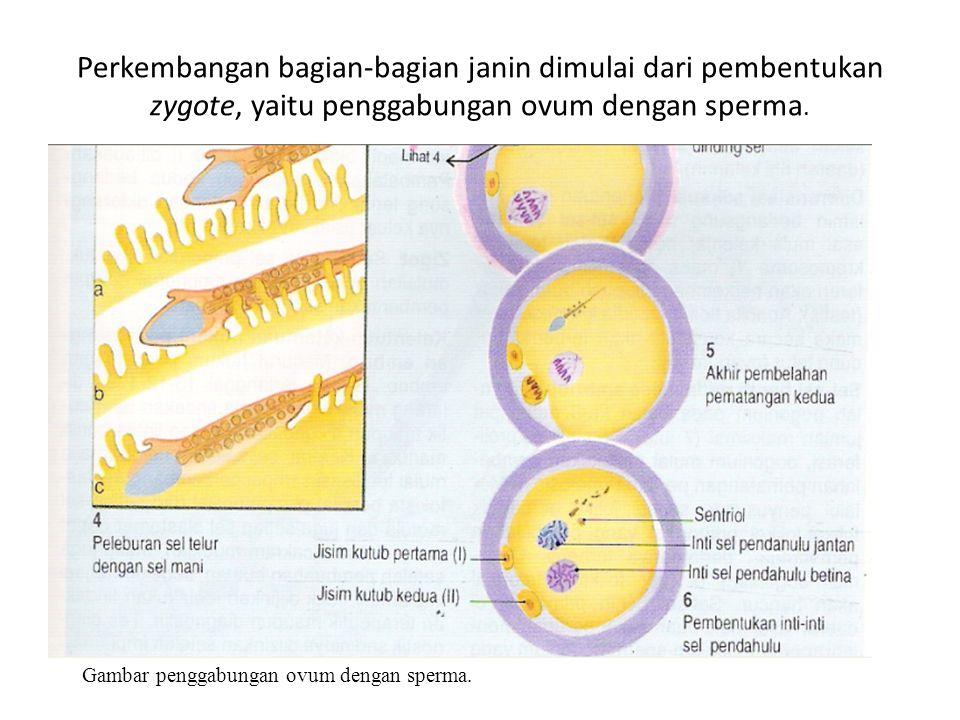 Perkembangan bagian-bagian janin dimulai dari pembentukan zygote, yaitu penggabungan ovum dengan sperma. Gambar penggabungan ovum dengan sperma.
