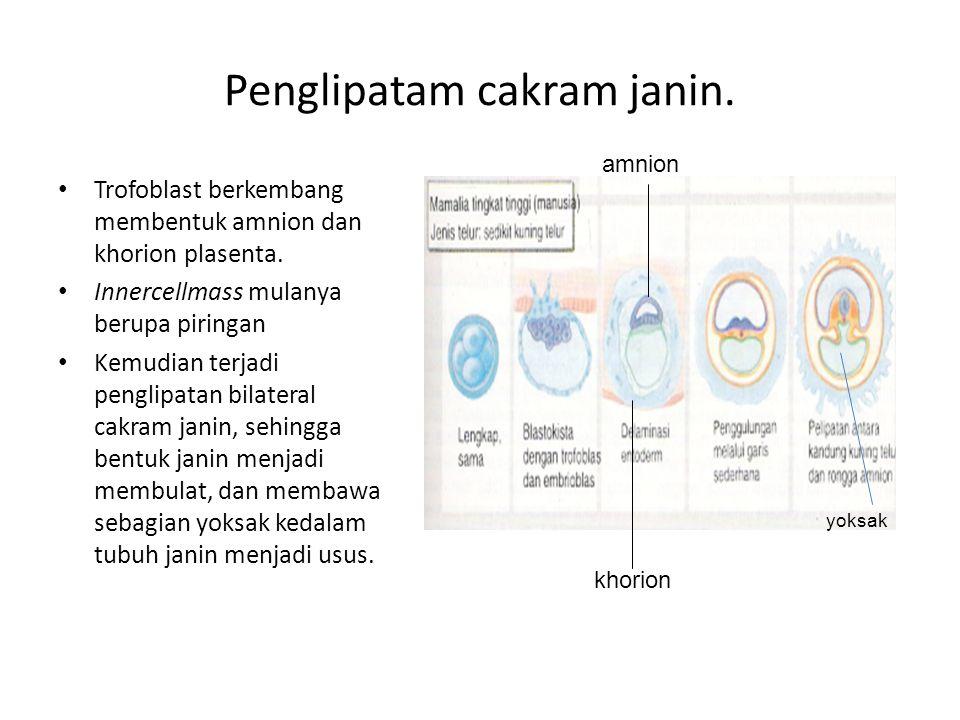 Penglipatam cakram janin. Trofoblast berkembang membentuk amnion dan khorion plasenta. Innercellmass mulanya berupa piringan Kemudian terjadi penglipa