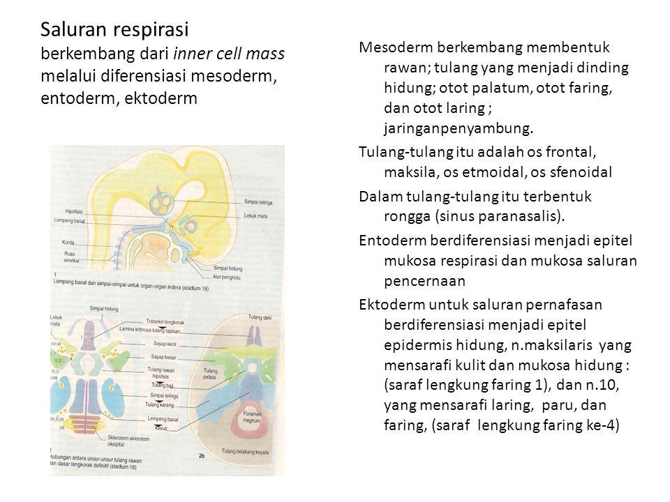 Saluran respirasi berkembang dari inner cell mass melalui diferensiasi mesoderm, entoderm, ektoderm Mesoderm berkembang membentuk rawan; tulang yang m