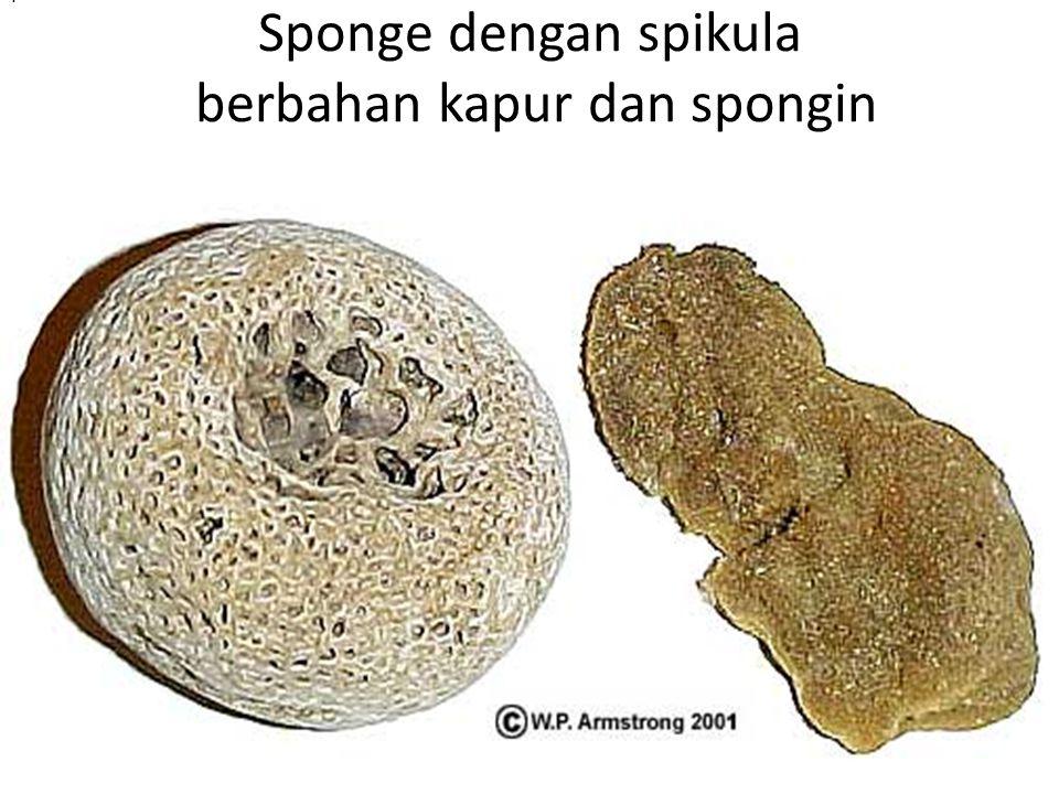 Sponge dengan spikula berbahan kapur dan spongin..