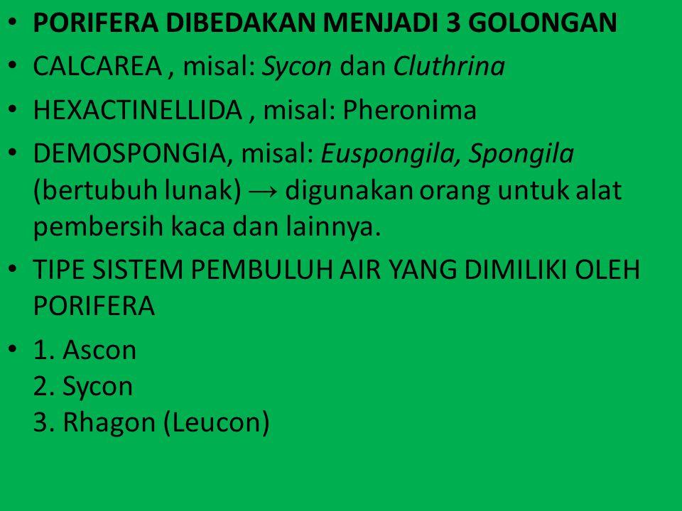 PORIFERA DIBEDAKAN MENJADI 3 GOLONGAN CALCAREA, misal: Sycon dan Cluthrina HEXACTINELLIDA, misal: Pheronima DEMOSPONGIA, misal: Euspongila, Spongila (
