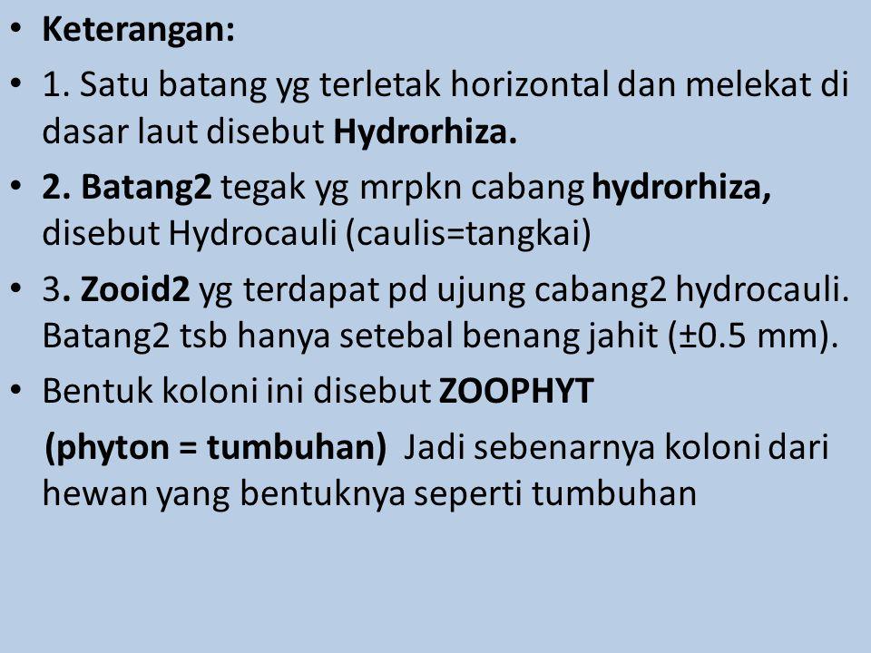 Keterangan: 1. Satu batang yg terletak horizontal dan melekat di dasar laut disebut Hydrorhiza. 2. Batang2 tegak yg mrpkn cabang hydrorhiza, disebut H
