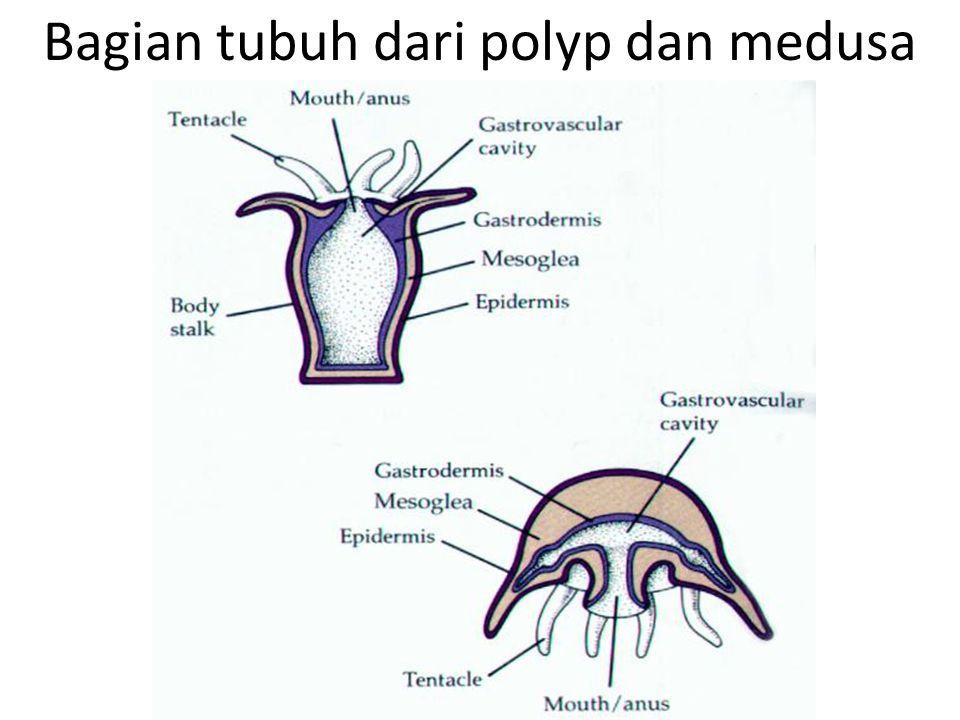 Bagian tubuh dari polyp dan medusa