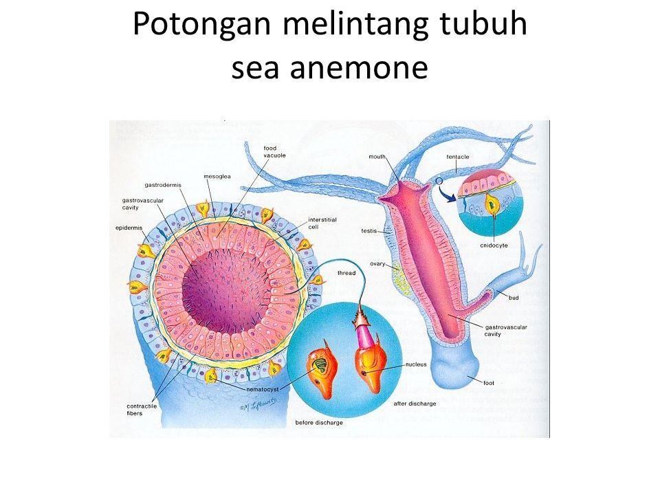 Potongan melintang tubuh sea anemone