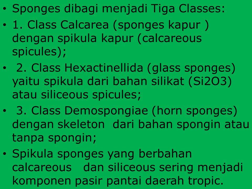 Sponges dibagi menjadi Tiga Classes: 1. Class Calcarea (sponges kapur ) dengan spikula kapur (calcareous spicules); 2. Class Hexactinellida (glass spo