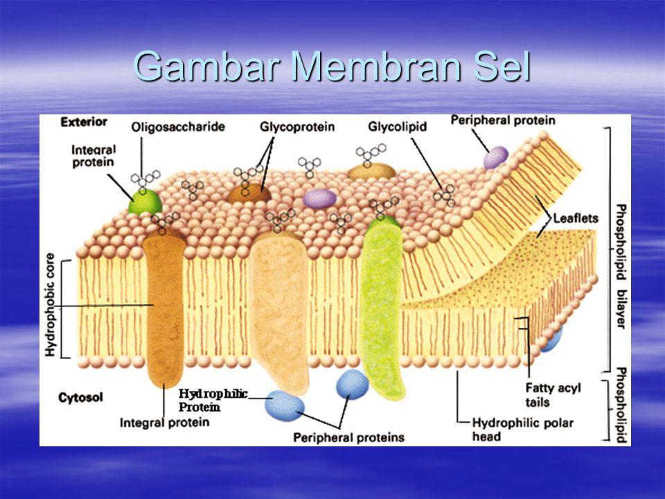 Peroksisom (Badan Mikro) Ukurannya sama seperti Lisosom.