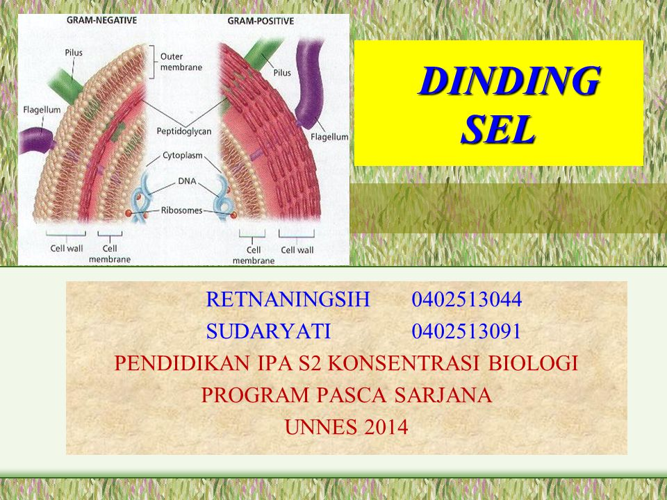 DINDING SEL DINDING SEL RETNANINGSIH 0402513044 SUDARYATI 0402513091 PENDIDIKAN IPA S2 KONSENTRASI BIOLOGI PROGRAM PASCA SARJANA UNNES 2014