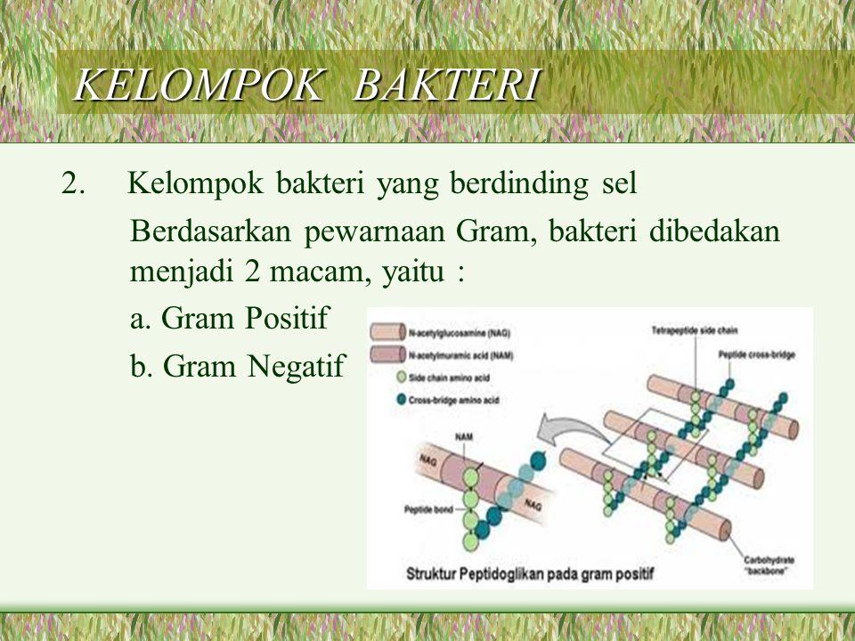 KELOMPOK BAKTERI 2. Kelompok bakteri yang berdinding sel Berdasarkan pewarnaan Gram, bakteri dibedakan menjadi 2 macam, yaitu : a. Gram Positif b. Gra