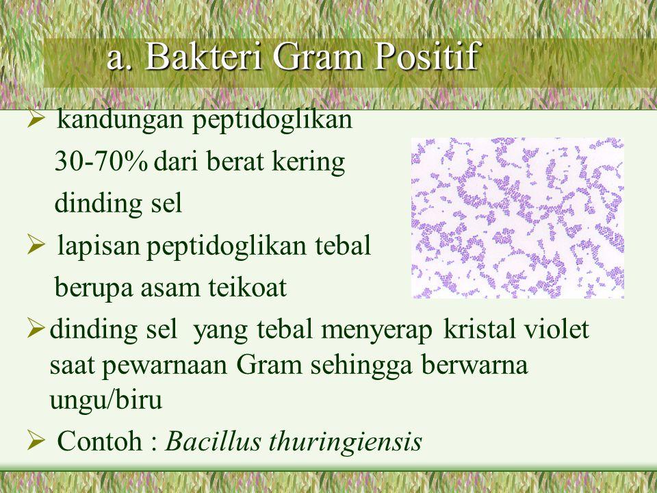 a. Bakteri Gram Positif a. Bakteri Gram Positif  kandungan peptidoglikan 30-70% dari berat kering dinding sel  lapisan peptidoglikan tebal berupa as