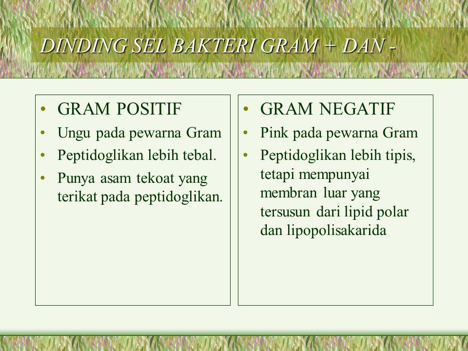 DINDING SEL BAKTERI GRAM + DAN - GRAM POSITIF Ungu pada pewarna Gram Peptidoglikan lebih tebal. Punya asam tekoat yang terikat pada peptidoglikan. GRA
