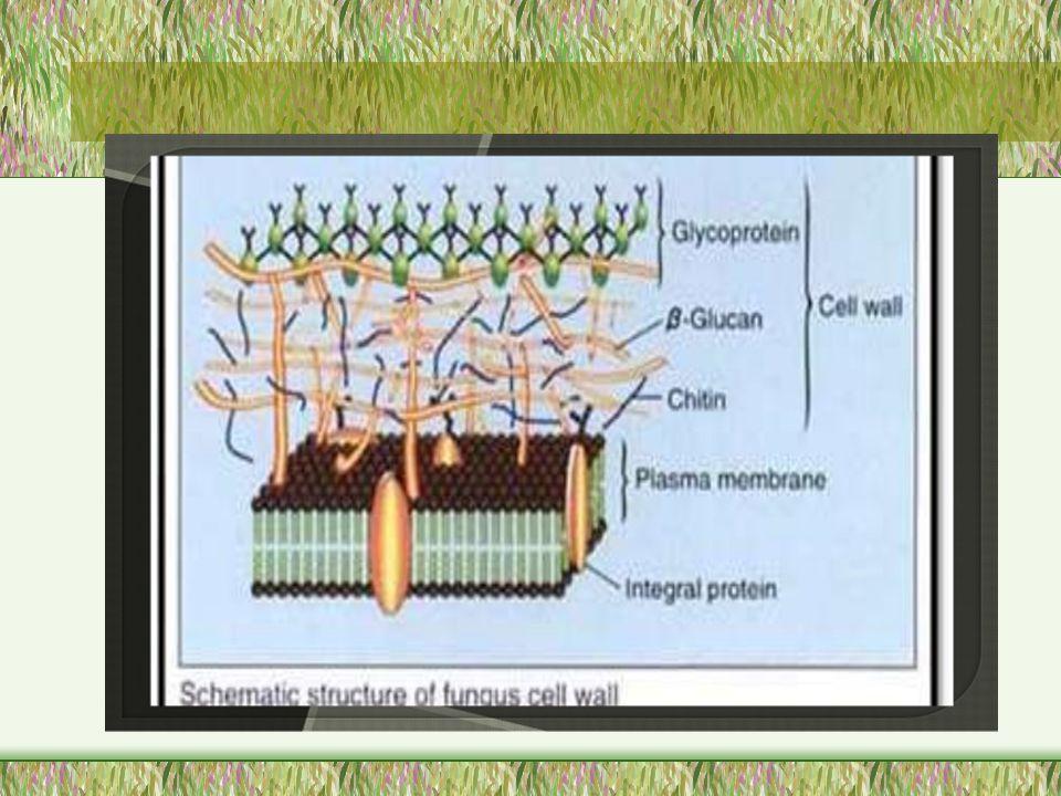 DINDING SEL FUNGI Benang-benang halus atau matriks yang tersusun atas senyawa selulosa (polisakarida dari polimer glukan yang terdiri dari polimer glukosa) dan terdapat rangka di dalamnya