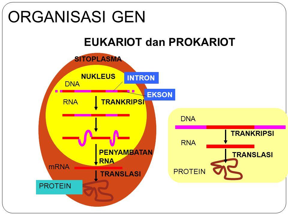 ORGANISASI GEN EUKARIOT dan PROKARIOT SITOPLASMA NUKLEUS DNA RNA mRNA PROTEIN TRANSLASI TRANKRIPSI PENYAMBATAN RNA INTRON EKSON PROTEIN TRANSLASI TRAN
