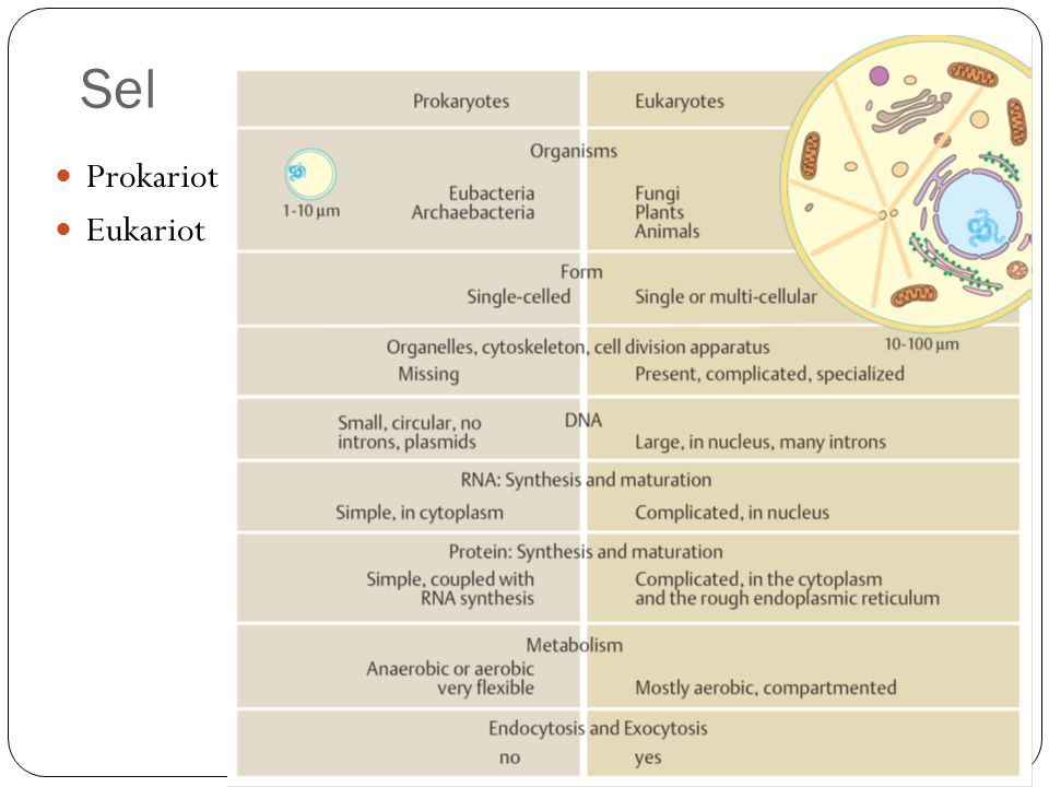 Sel prokariot: bakteri Tidak memiliki nukleus - DNA bebas dalam sitoplasma Tidak memiliki membrane-bound organelles Berukuran lebih kecil Sebagian besar memiliki dinding sel Polisakarida menutupi dinding sel pada banyak spesies