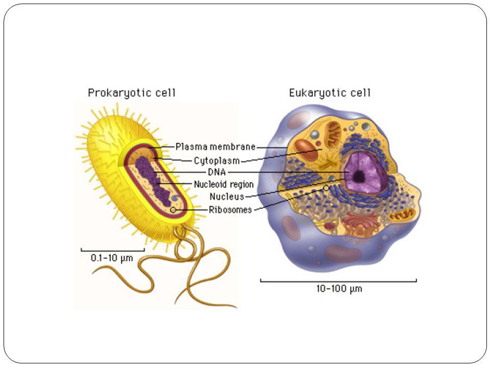 Eukariot