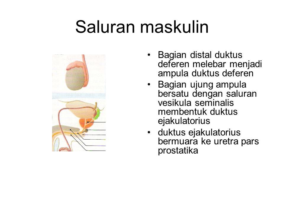 Saluran maskulin Bagian distal duktus deferen melebar menjadi ampula duktus deferen Bagian ujung ampula bersatu dengan saluran vesikula seminalis memb