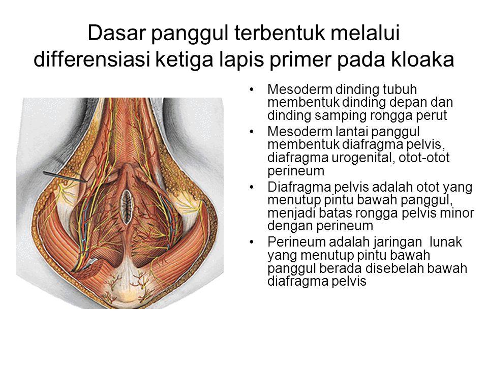 Dasar panggul terbentuk melalui differensiasi ketiga lapis primer pada kloaka Mesoderm dinding tubuh membentuk dinding depan dan dinding samping rongg