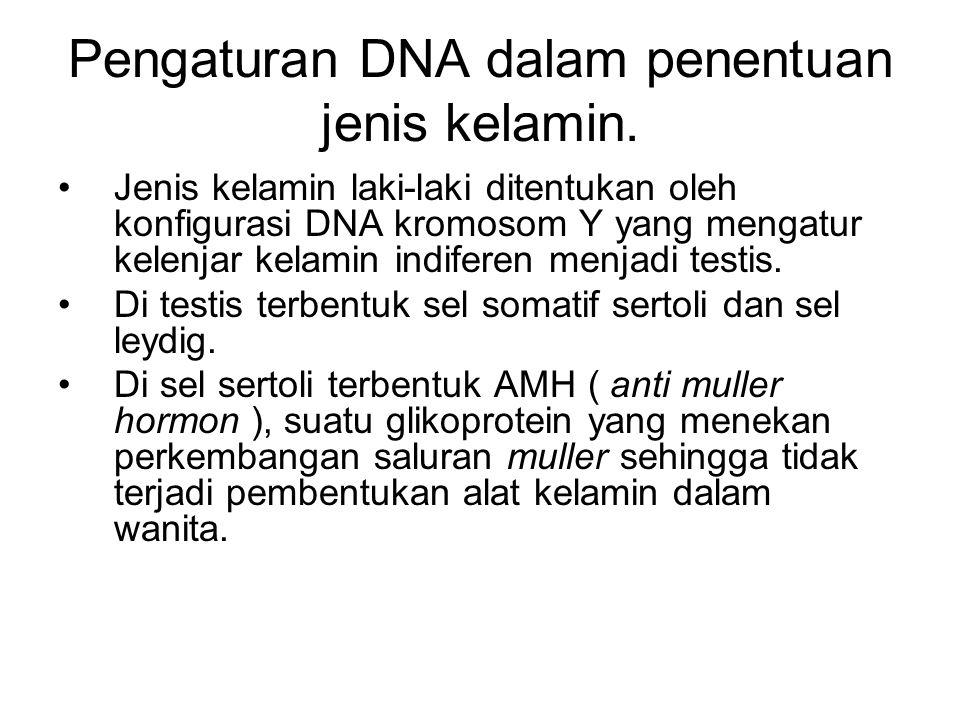 Pengaturan DNA dalam penentuan jenis kelamin. Jenis kelamin laki-laki ditentukan oleh konfigurasi DNA kromosom Y yang mengatur kelenjar kelamin indife