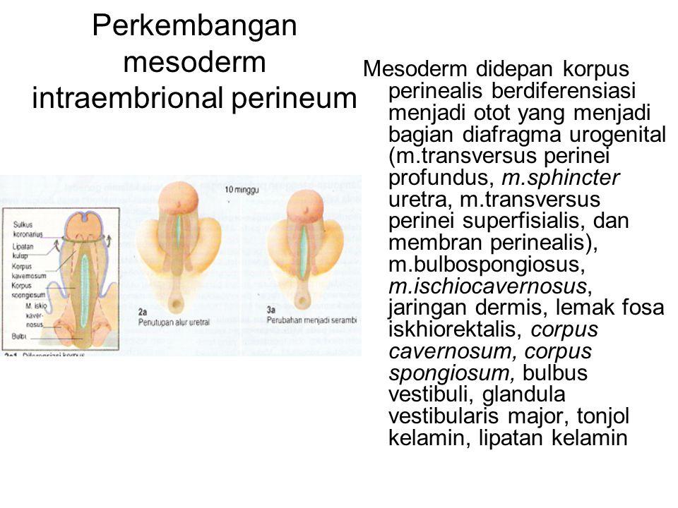 Perkembangan mesoderm intraembrional perineum Mesoderm didepan korpus perinealis berdiferensiasi menjadi otot yang menjadi bagian diafragma urogenital