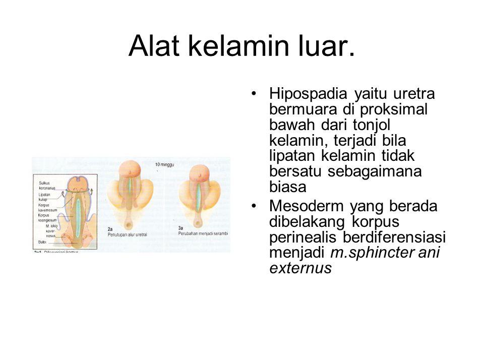 Alat kelamin luar. Hipospadia yaitu uretra bermuara di proksimal bawah dari tonjol kelamin, terjadi bila lipatan kelamin tidak bersatu sebagaimana bia