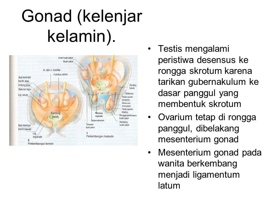 Testis: Tempat pematangan sperma, didalam saluran tubuli seminiferi.