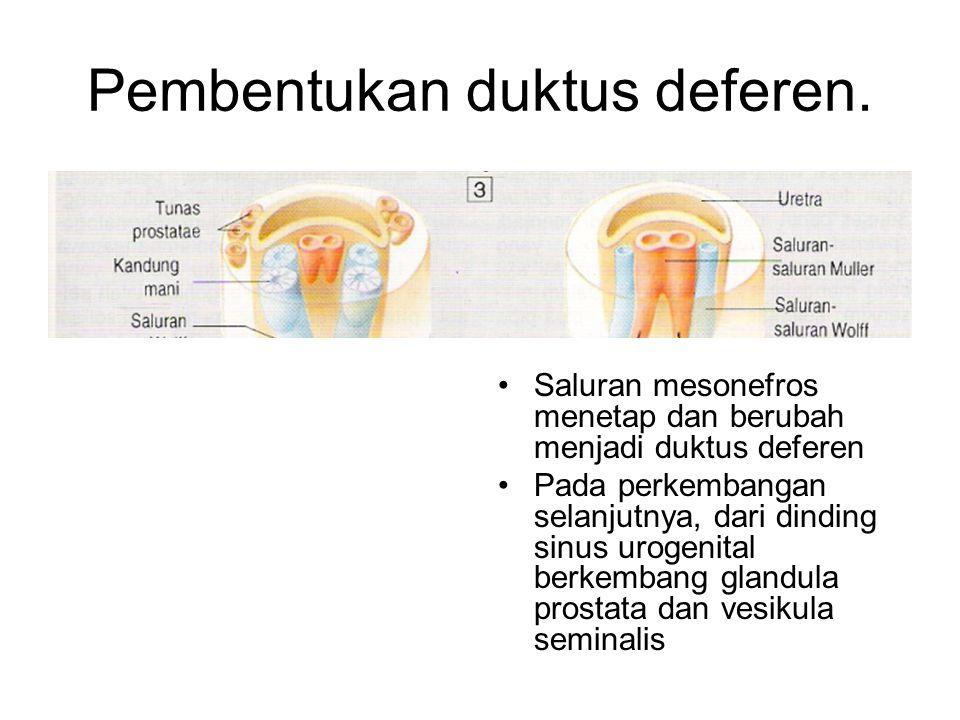 Susunan mesonefros Susunan mesonefros terdiri atas glomerulus dan saluran mesonefros Saluran mesonefros (saluran wolf) bermuara ke sinus urogenitalis saluran mesonefros berdiferensiasi menjadi duktus deferen Duktus deferen adalah saluran yang mengalirkan sperma dari testis keuretra pars prostatika.
