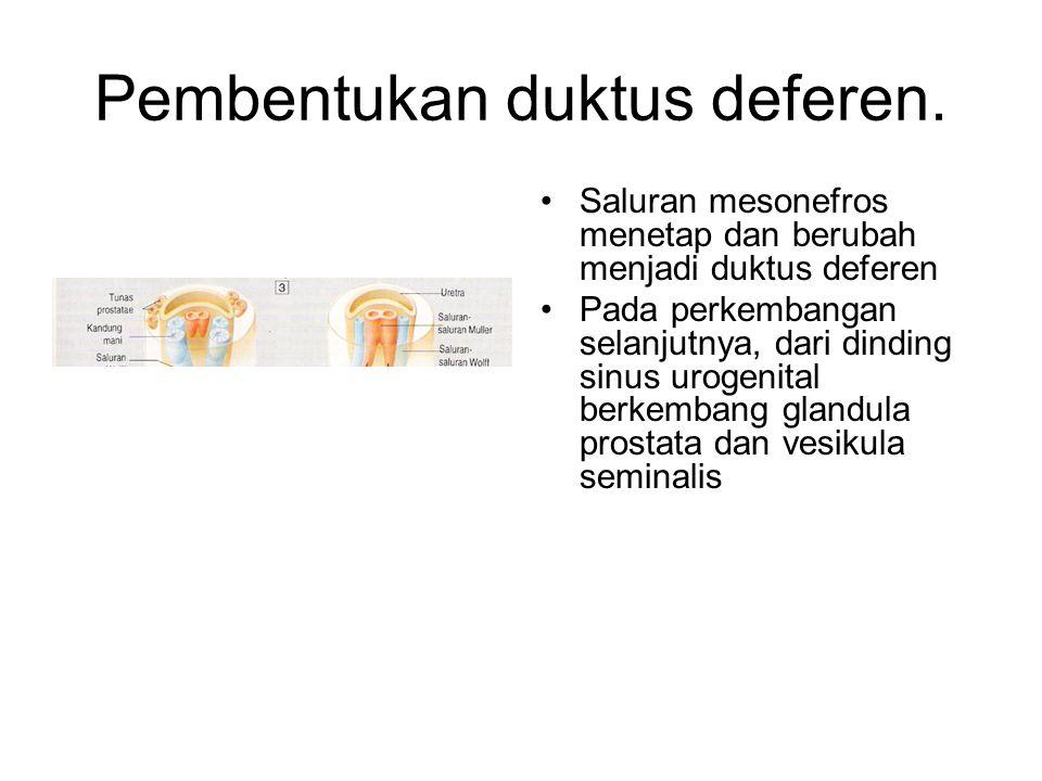 Pembentukan duktus deferen. Saluran mesonefros menetap dan berubah menjadi duktus deferen Pada perkembangan selanjutnya, dari dinding sinus urogenital