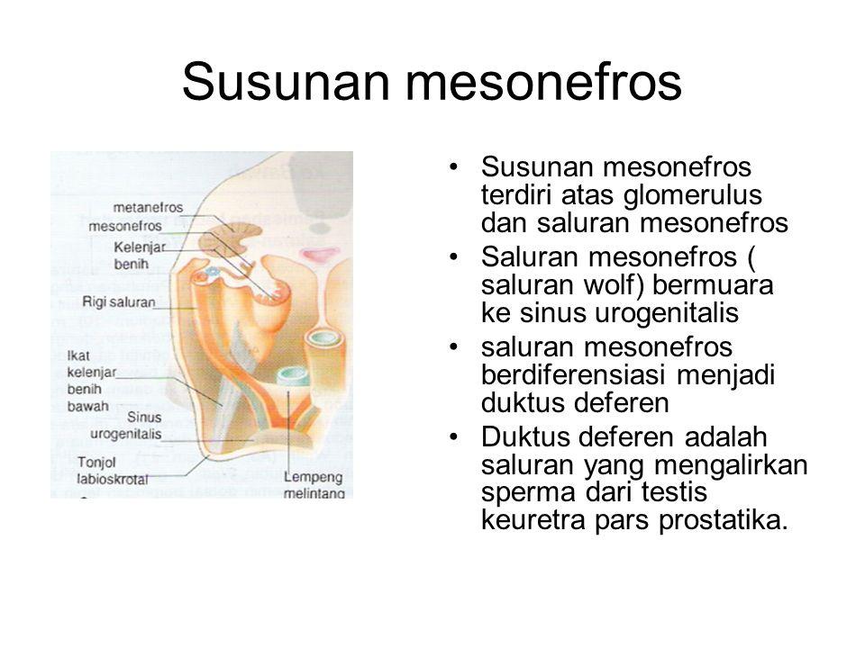 Susunan mesonefros Susunan mesonefros terdiri atas glomerulus dan saluran mesonefros Saluran mesonefros ( saluran wolf) bermuara ke sinus urogenitalis