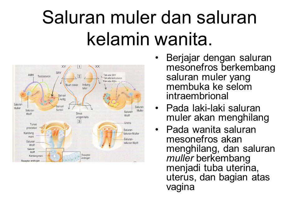 Saluran muler dan saluran kelamin wanita. Berjajar dengan saluran mesonefros berkembang saluran muler yang membuka ke selom intraembrional Pada laki-l