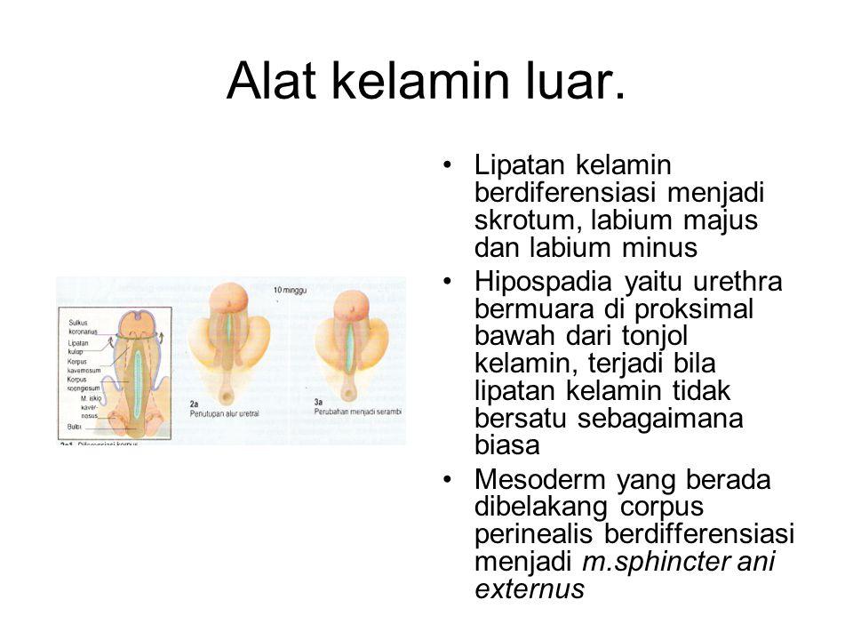 Alat kelamin luar. Lipatan kelamin berdiferensiasi menjadi skrotum, labium majus dan labium minus Hipospadia yaitu urethra bermuara di proksimal bawah