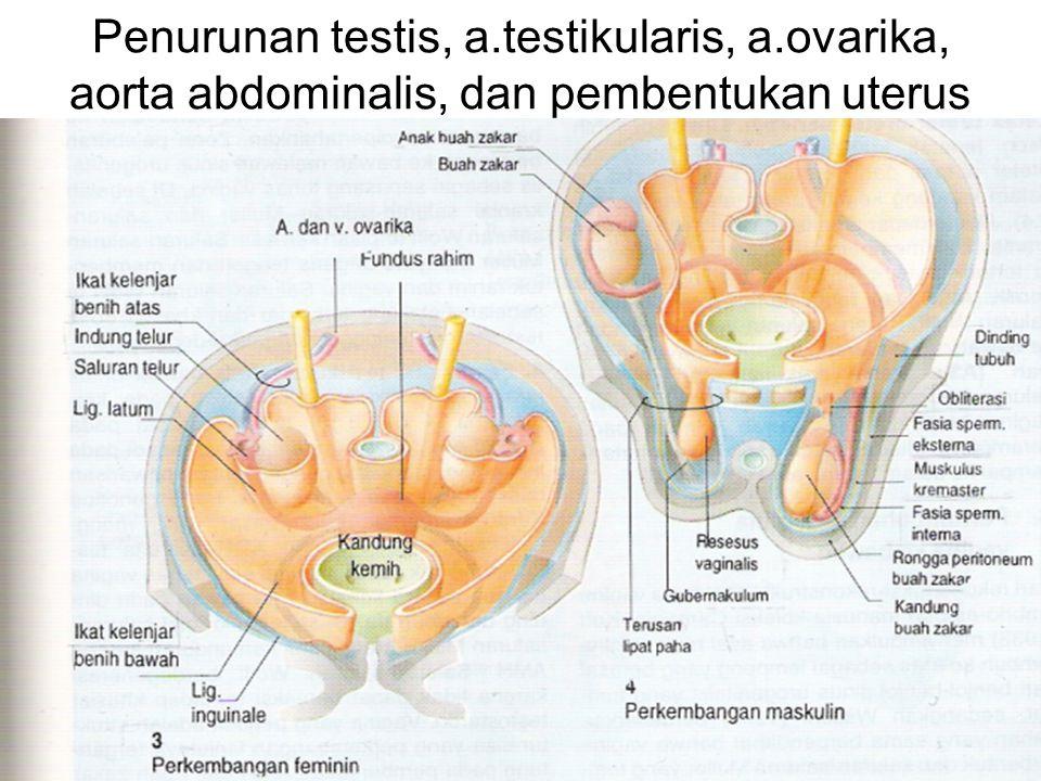 Penurunan testis, a.testikularis, a.ovarika, aorta abdominalis, dan pembentukan uterus