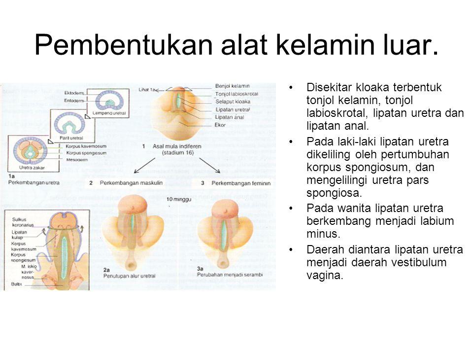 Pembentukan alat kelamin luar. Disekitar kloaka terbentuk tonjol kelamin, tonjol labioskrotal, lipatan uretra dan lipatan anal. Pada laki-laki lipatan