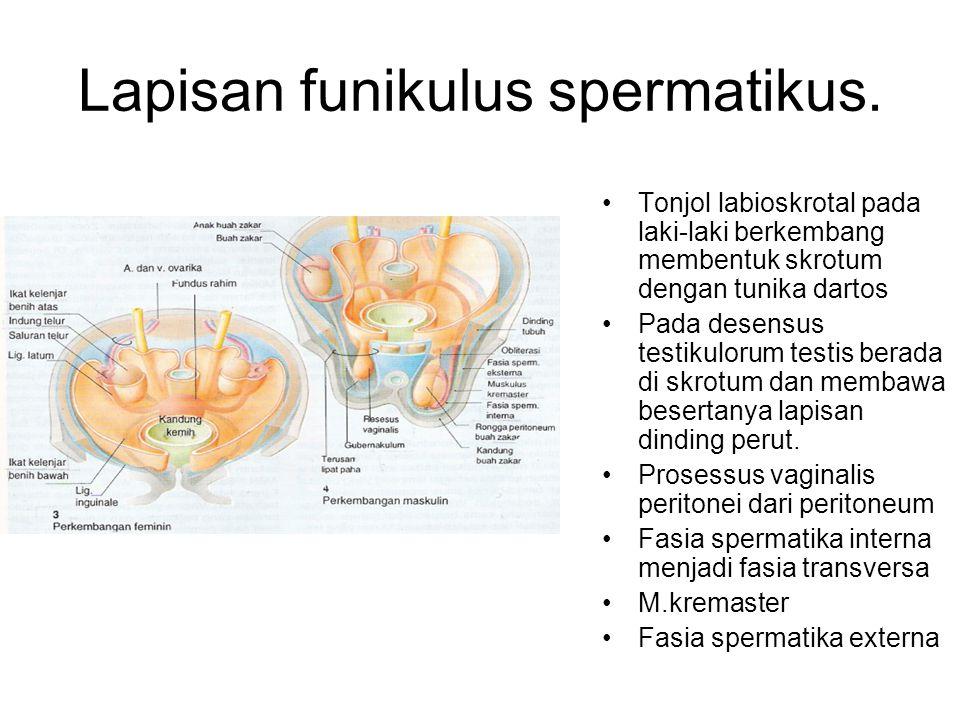 Lapisan funikulus spermatikus. Tonjol labioskrotal pada laki-laki berkembang membentuk skrotum dengan tunika dartos Pada desensus testikulorum testis