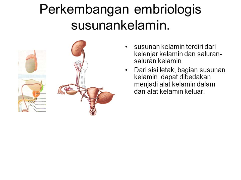Perkembangan embriologis susunankelamin. susunan kelamin terdiri dari kelenjar kelamin dan saluran- saluran kelamin. Dari sisi letak, bagian susunan k
