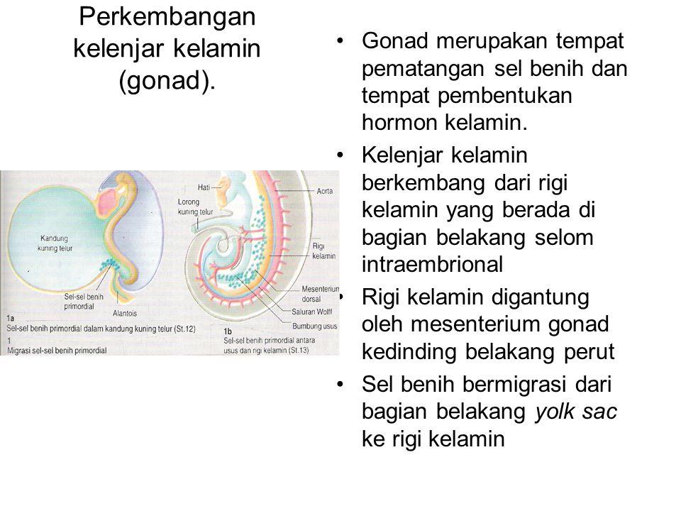 Perkembangan kelenjar kelamin (gonad). Gonad merupakan tempat pematangan sel benih dan tempat pembentukan hormon kelamin. Kelenjar kelamin berkembang