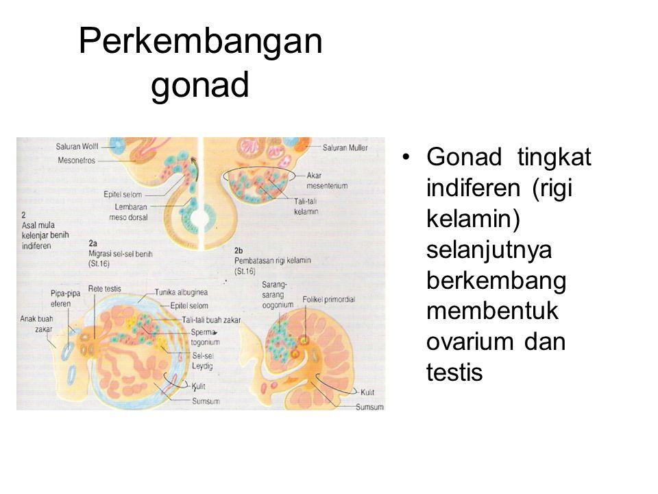Perkembangan gonad Gonad tingkat indiferen (rigi kelamin) selanjutnya berkembang membentuk ovarium dan testis